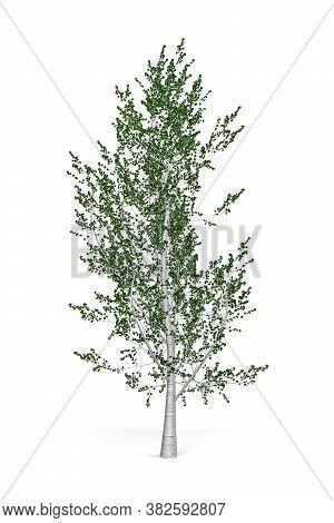 Aspen Tree Isolated On White Background - 3d Render