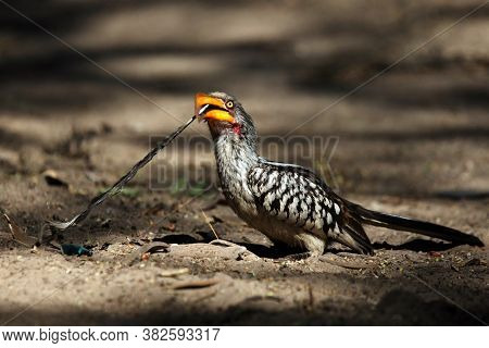 The Southern Yellow-billed Hornbill (tockus Leucomelas)sitting On The Ground With A Feather In Its B