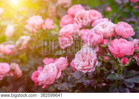 Lush Bush Roses With Lighting . Beautiful Rose. Article About Caring For Roses. The Shrub Flowers. P