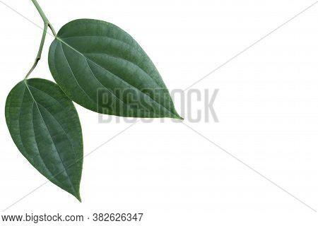 Green Pepper Or Piper Nigrum Linn Leaf Isolated On White Background.