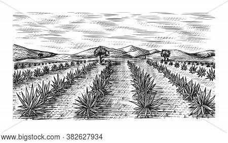 Agave Field. Vintage Retro Landscape. Harvesting For Tequila Making. Engraved Hand Drawn Sketch. Woo