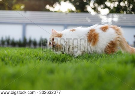 The Cute Persian Cat Is Eating Herbal Grass On A Green Grass Field, For Pet Natural Medical And Orga
