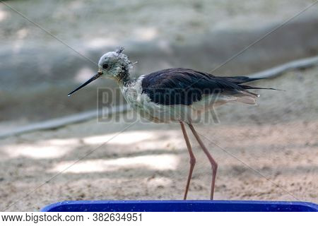 The Bird  Black-winged Stilt Is Walking Near His Bowl Of Food And Looks On The Left. The Weather Is