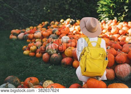 Back View On Woman With Backpack Is Picking Pumpkins At Pumpkin Patch At Farm Market. Thanksgiving H