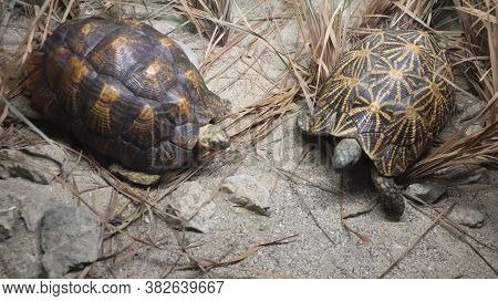 An Endangered Species Of The Wild Brown Tortoise.