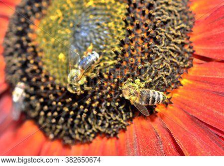 Honey Bee (apis Mellifera) On Sunflower.