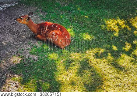 Young Sika Deer (cervus Nippon) Lying On Grass