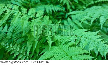Fern Close-up. Full Screen Bright Green Fishnet Leaves. Summer Glade In The Forest.