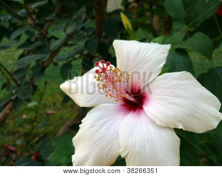 Flower Of White Hibiscus