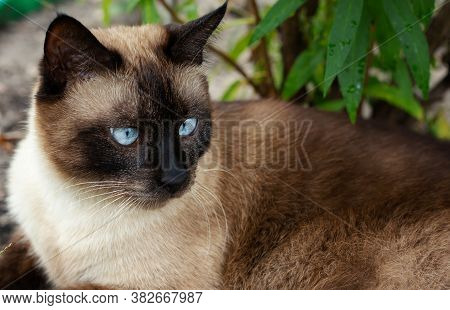 Beautiful Brown Cat, Siamese, With Blue Eyes Lies In A Green Grass