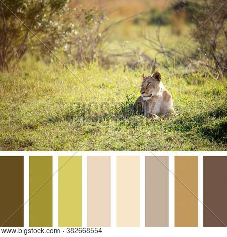 Lioness in sunlight, Masai Mara, Kenya. In a colour palette with complimentary colour swatches.
