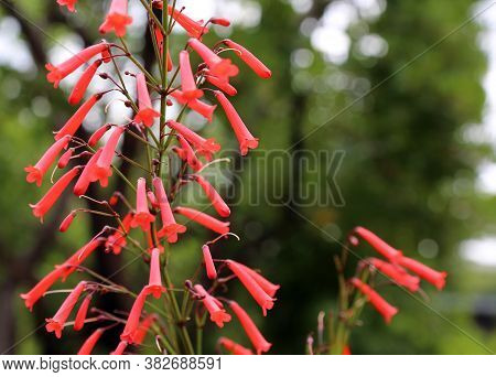 Fuchsia Phygelius Capensis Flower Red Long Bell