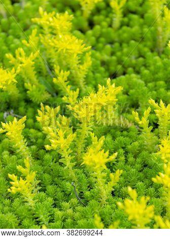 Biting Stonecrop Or Sedum Acre Or Goldmoss Stonecrop Or Mossy Stonecrop Or Goldmoss Sedum Or Wallpep
