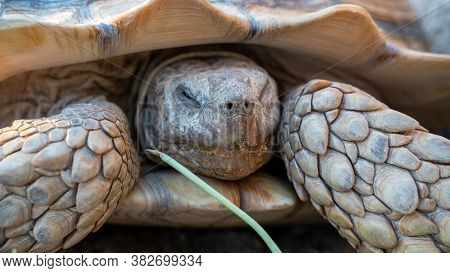 Close Up Shot Of Desert Tortoise (gopherus Agassizii And Gopherus Morafkai), Also Known As Desert Tu