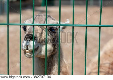 Photo Of The Head Of A Little Baby Lama Guanaco.  He Is Looking At The Photographer. The Weather Is