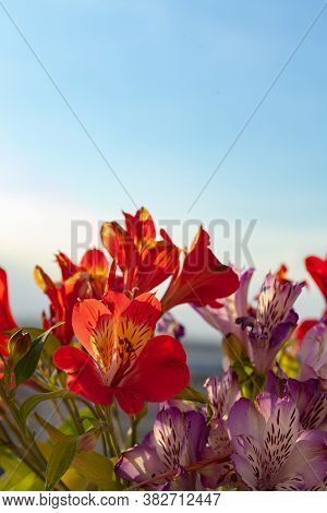 Bouquet Of Flowers. Close Up On Alstroemeria Flower, Peruvian Lily Blooming In Deep Red During Sprin