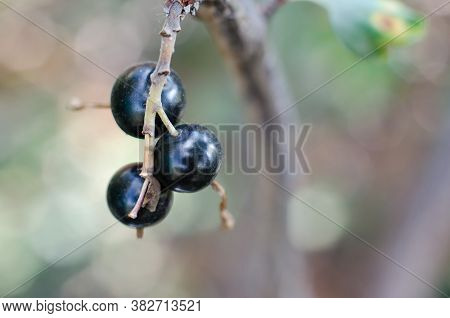 Ripe Juicy Black Currant Grows On The Bush. Close-up Of Black Currant Fruits.
