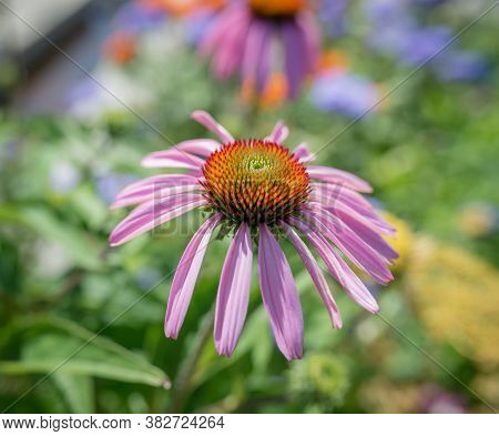 Close Up Echinacea Flower, Colorful  Blurred Background