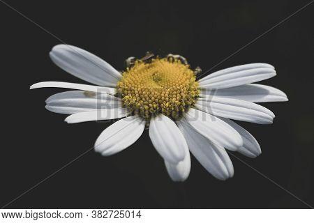 Beautiful Daysi Flower Isolated On Black Background