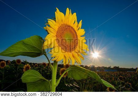 Sunflower In A Field At Sunset