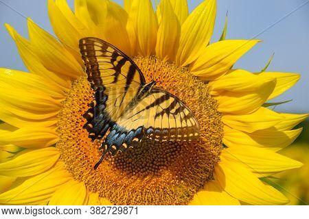 Yellow Swallowtail On Sunflower+