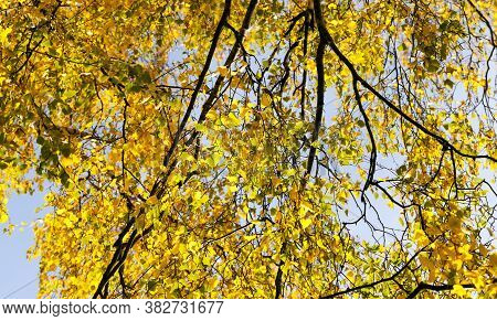 Features Of Autumn Weather In The Forest Or In The Park, Trees With Colorful Multi-colored Foliage