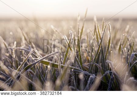 Wheat Planted For Winter Covered With Ice Crystals And Frost During Winter Frosts, Grass On An Agric