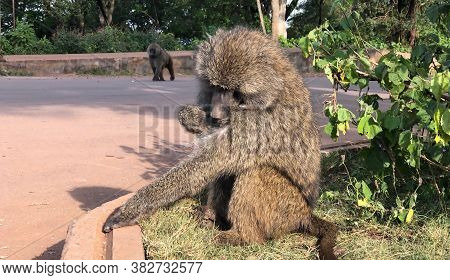 Baboon Grooming In Foreground With Second Baboon Knuckle Walking In Background At Ngorongoro Nationa