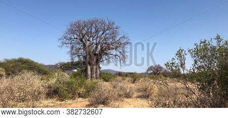 Baobab Tree Alone Among Desert Brush On A Cloudless Day In Tanzania.