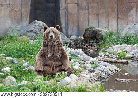 A Large Male Grizzly Bear Sits Up In A Relaxing Pose Next To A Pond And Some Rocks On A Hot Day In M
