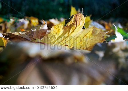 Yellow Mapple Leaf Laying On The Ground In Autumn With Sunny Backlight Shinning Through With A Dark