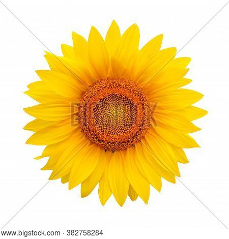 Sunflower Isolated On White Background. Harvest Time, Agriculture, Oil And Seeds, Farming, Autumn Co