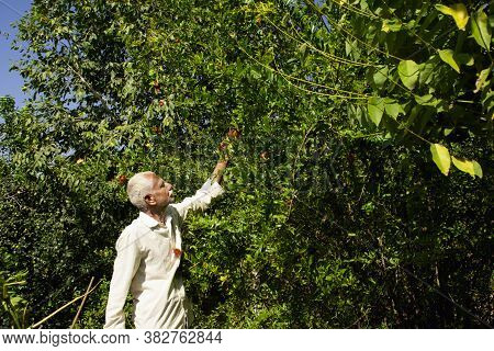 An Indian Farmer Observing Pomegranate Flowers Falls Due To Pesticides In The Garden, Study Of Farmi
