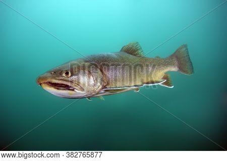 Arctic Char Or Arctic Charr (salvelinus Alpinus) Swimming Underwater. Char Photo Shoot While Diving