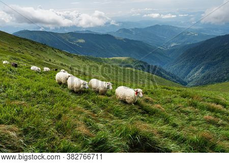 High In The Mountains Shepherds Graze Cattle Among The Panorama Of Wild Forests And Fields Of The Ca