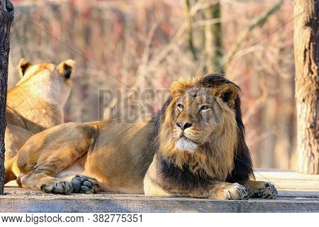 The Asiatic Lion (panthera Leo Leo) On A Wooden Mat. A Rare Indian Lion Lying In The Cage.