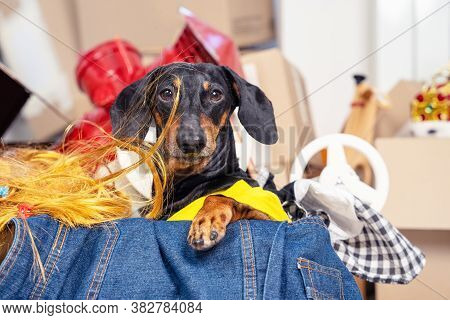 Funny Dachshund Hoarder Sits In Cardboard Box With Useless Things That It Collects. Dog Is Preparing