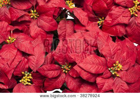 full frame image of poinsettia flowers