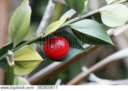 Berry Of A Butcher's-broom, Ruscus Aculeatus