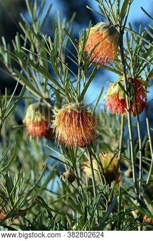 Australian Native Orange Wildflower The Yanchep Rose, Diplolaena Angustifolia, Family Rutaceae. Ende