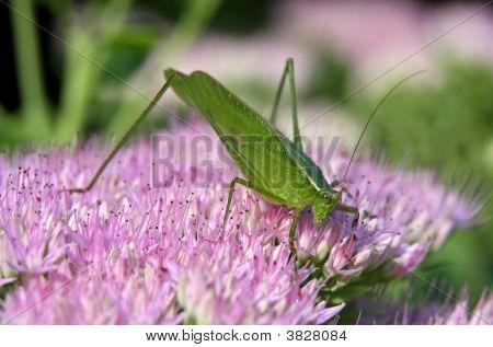 a katydid grasshopper sitting on a pink sedum in a garden. poster
