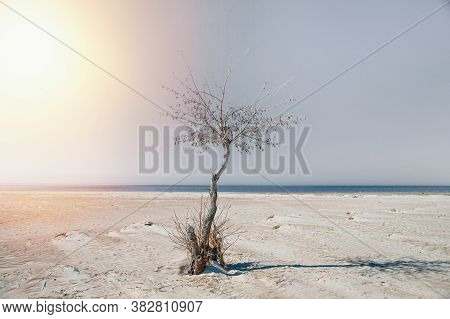 Lone Alder On The Sandy Shore Of The Gulf Of Finland