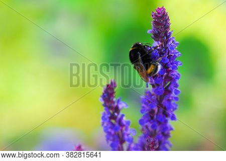 Bumblebee On A Lavender Flower, Close-up. Pollination