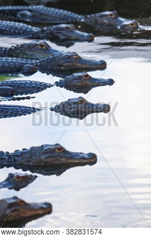 Several Alligators in a row in the lake