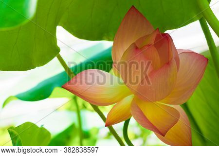 Pink Flower Lotus Or Nelumbo, Only Member Of The Lotus Family Nelumbonaceae. Symbol Of Purity
