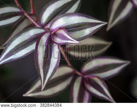 Tradescantia Zebrina, Formerly Known As Zebrina Pendula, Is A Species Of Spiderwort More Commonly Kn