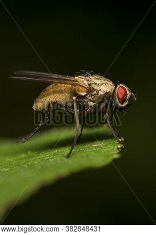 Macro Shot Of Flesh Fly On The Leaf. Sarcophagidae.