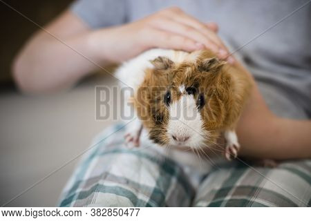 Boy Strokes Fluffy Guinea Pig. Pets Muzzle Close-up. Child Holds Tame Domestic Rodent In Arms. Soft