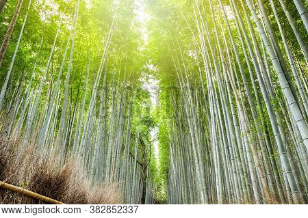 Asian Travel Destinations. Sagano Bamboo Forest In Japan With Sunlight From Above.