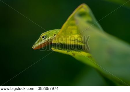 A Carolina Anole Or Green Anole Appears To Playing Peekaboo. Raleigh, North Carolina.